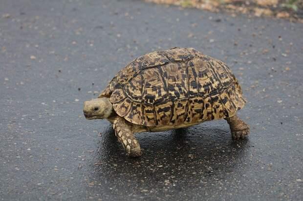 Черепаха не собака: в Риме оштрафовали женщину, которая выгуливала рептилию