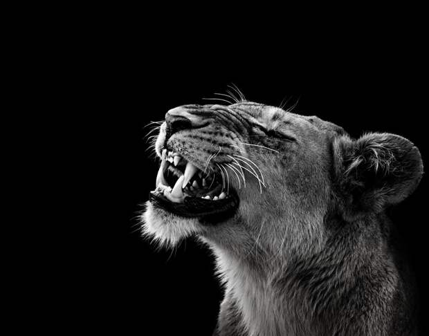 zhivotnye 15 Черно белые портреты диких животных