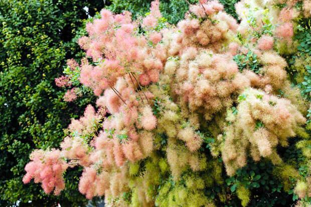 Скумпия в цвету