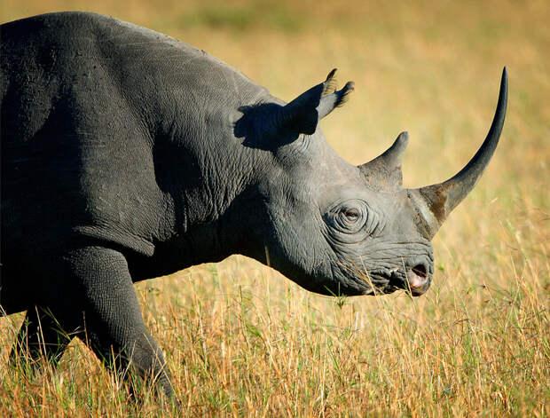 Черный и белый носорог: почему их так назвали, ведь на самом деле они оба серые