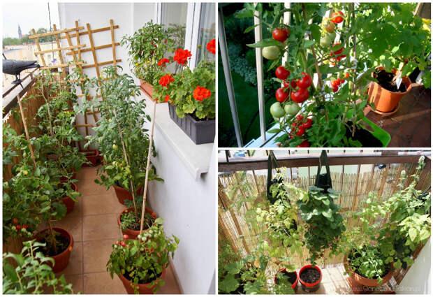 Пенсионер из России выращивает на дому овощи тоннами.