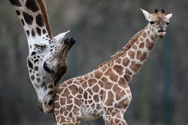 Жизнь жирафа— ежедневный адивсе из-за длинной шеи