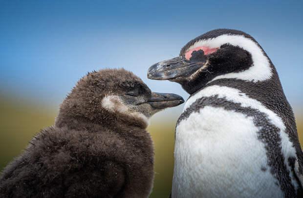 Магелланский пингвин с птенцом