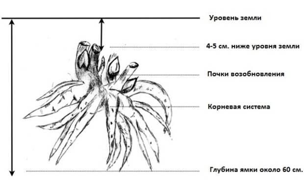 схема как сажать цветок