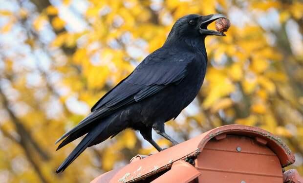 Почему ворон – самая умная птица в мире