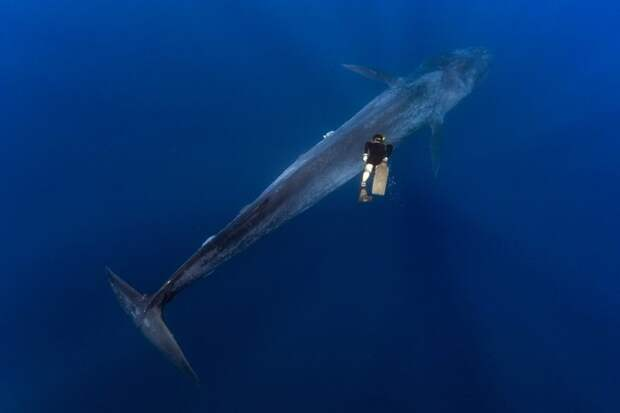 Великан и Гулливер: потрясающая прогулка тайского дайвера и 30-метрового синего кита