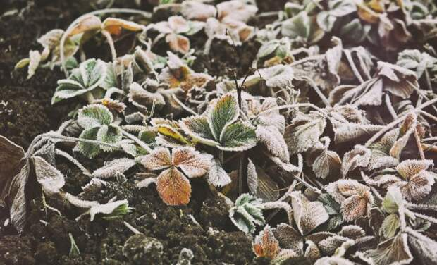 Замерзшие листья клубники