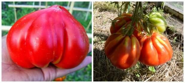 лучшие сорта томатов для всего