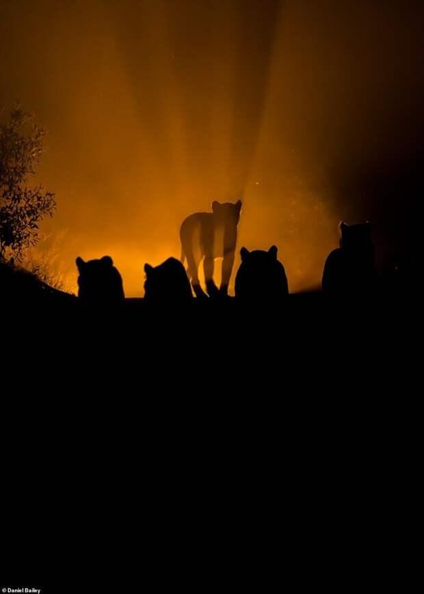 6. Дэниел Бейли (Daniel Bailey) дикая природа, дикие животные, животные, лучшие фото, львы, подборка, фото, хищники