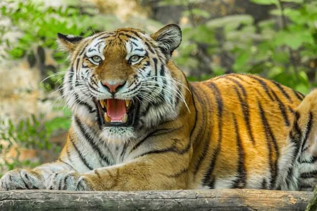 Подозреваемых в убийстве тигра Павлика задержали в Приамурье