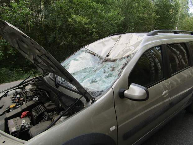 Два человека пострадали в ДТП с лосем на окраине Ижевска
