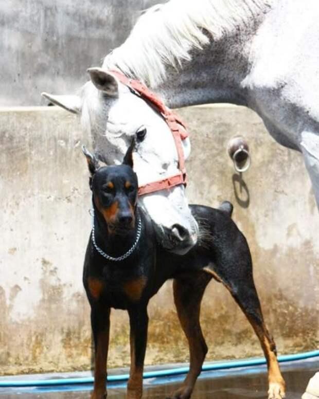 Удивительная мужская дружба добермана и коня! Они поняли друг друга, едва познакомившись…