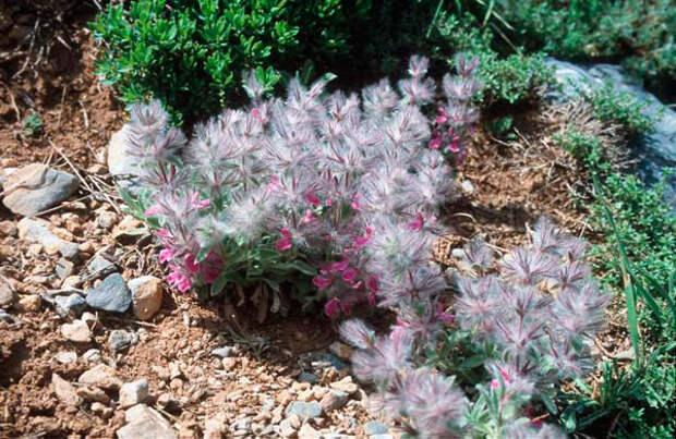 Многолетний садовый цветок Стахис (Stachys)
