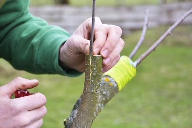 Для дерева-сада правильно прививать летние сорта на летние, осенние на осенние, зимние на зимние, либо с близкими сроками созревания