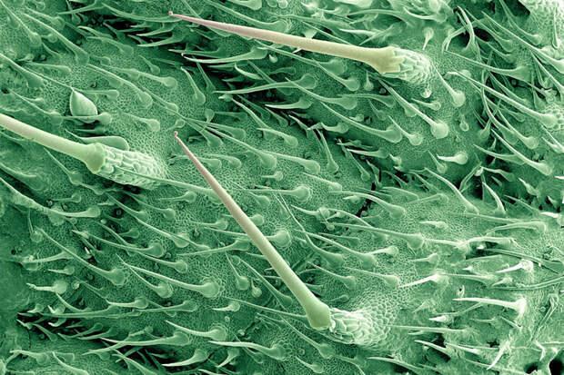 Природный шприц: листья крапивы под микроскопом