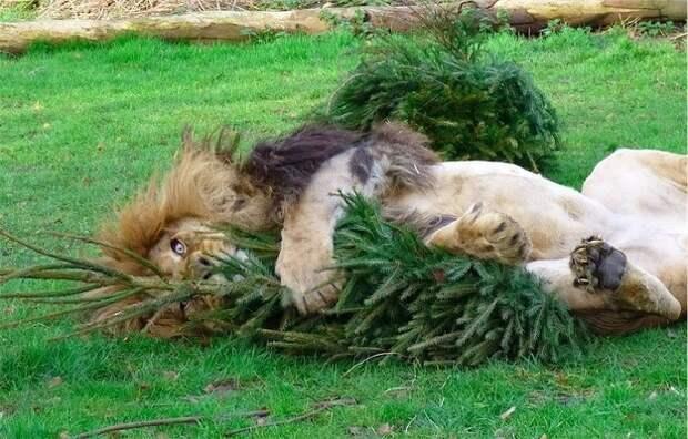 львы и ёлки (2)