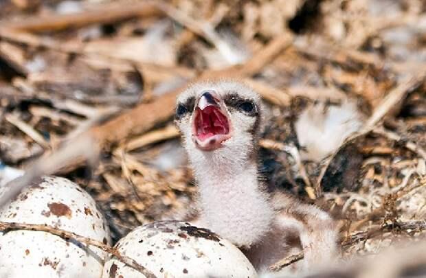 Яйца скопы в гнезде и маленький птенец