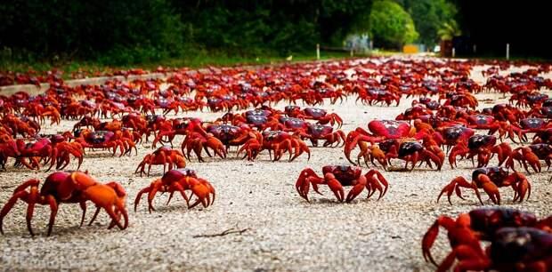 Красные земляные крабы