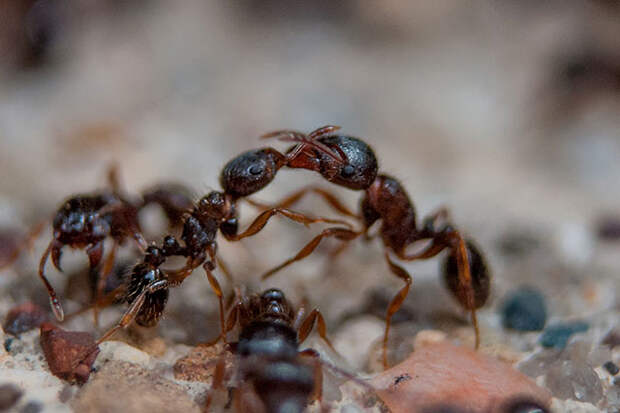 Использование насекомых на войне