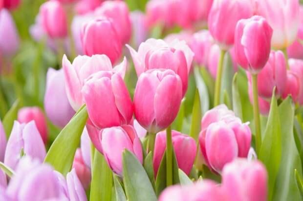 20+ великолепных розовых многолетних цветка, которые будут цвести вечно