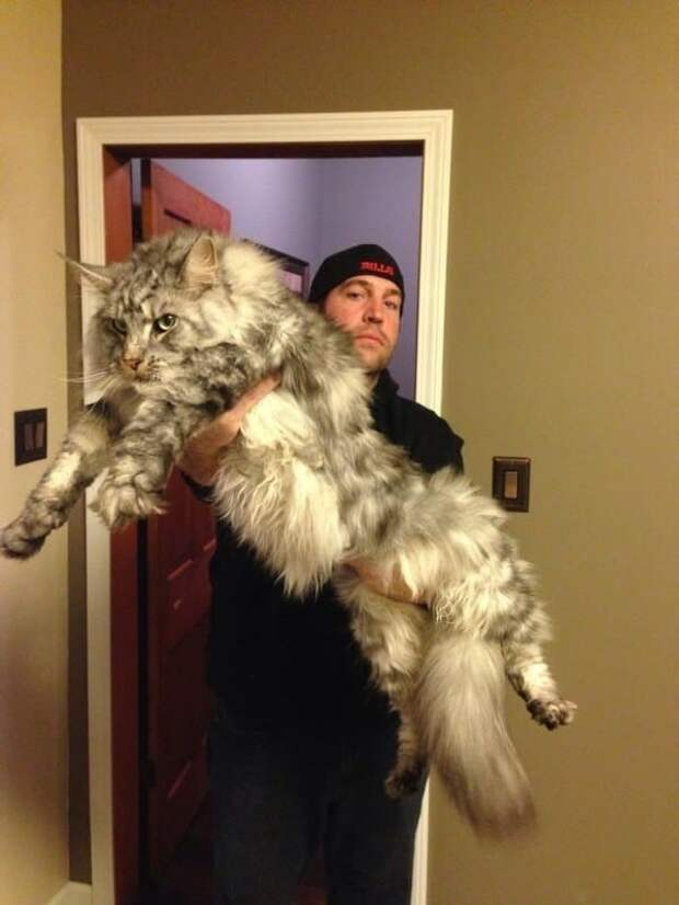 Невероятно огромный кот! животные, кошки, фото