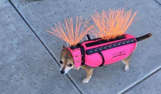 8 смешных фото и мемов с маленькими собаками в жилетах с шипами