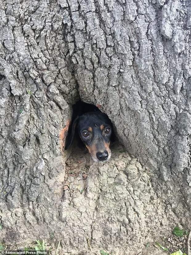 Собаки могут залезть и застрять где-угодно, но этот щенок всех превзошел! дерево, добро, домашние питомцы, животные, люди, собака, спасение