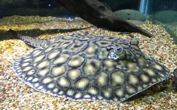 Пресноводный скат аквариумные рыбки, животные, необычные рыбы, рыбы