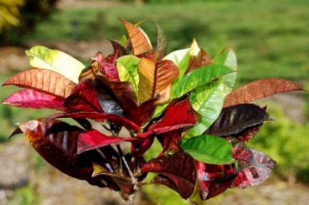 Кротон - Codiaeum variegatum (Croton).