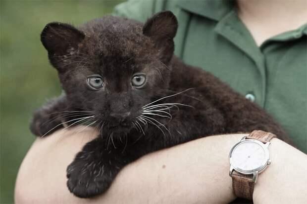 Котёнок пантеры жил у девушки около года, из-за того, что она до последнего думала, что это домашняя кошка