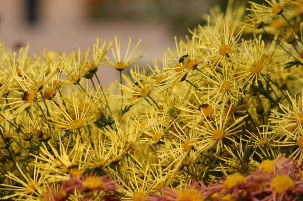 Октябрь - звездный час цветения дендрантемы садовой или хризантемы, фото автора