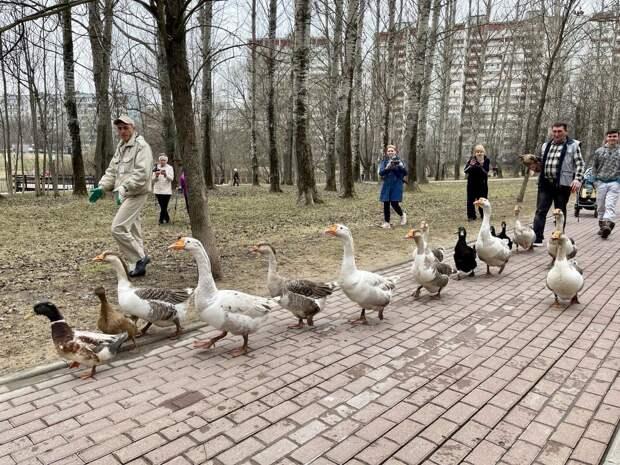 В сквер по Олонецкому проезду вернулись белые лебеди