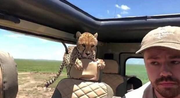 Турист проявил не хилое выдержку и самообладание, когда в его джип заскочил взрослый гепард