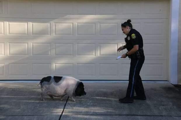 Полицейская история: как подружиться с наглой свинкой?