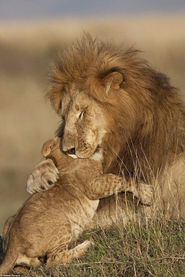 1. Отец и сын. Фотограф - Сабина Бернерт (Sabine Bernert) дикая природа, дикие животные, животные, лучшие фото, львы, подборка, фото, хищники