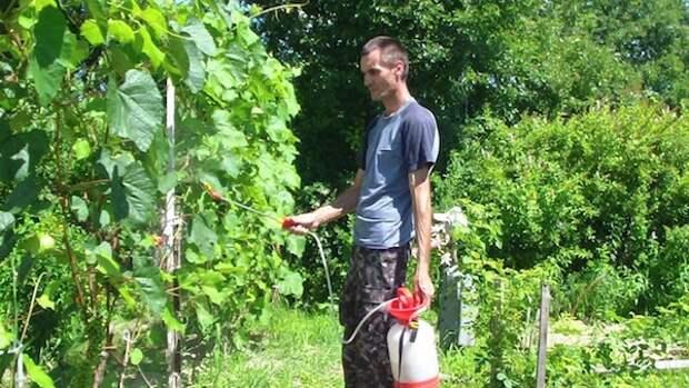 Срочные меры для спасения виноградника