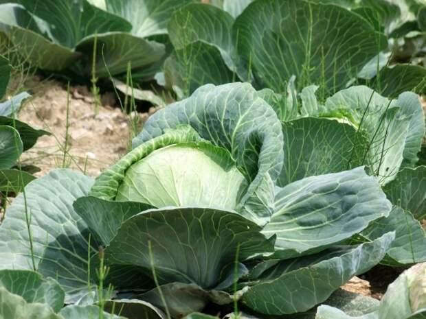 Капуста белокочанная требует регулярного ухода и защиты от вредителей