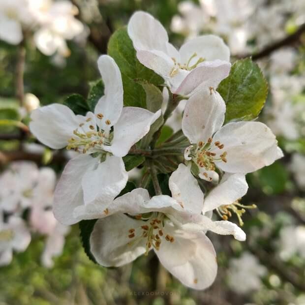 В саду цветут яблони