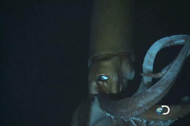 Первая в истории съемка гигантского кальмара в естественной среде обитания. Снято с борта глубоководного аппарата. Эти создания обитают на большой глубине и если всплывают к поверхности — либо мертвые, либо на очень короткое время / ©Discovery Channel, скриншот из видео