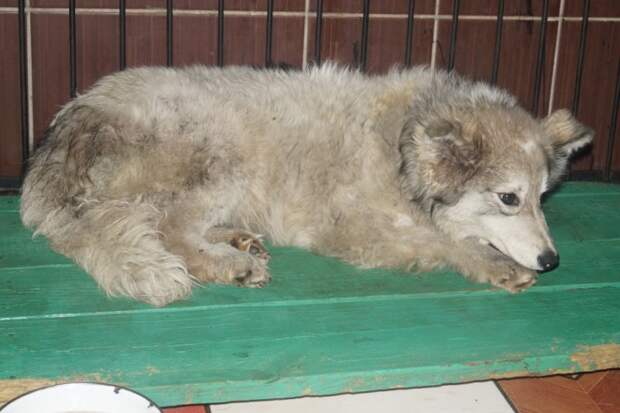Собака несколько дней провела на морозе, застряв в заборе пес, приют, пушистая собака, собака