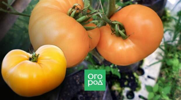 Сорт томатов Амана Оранж