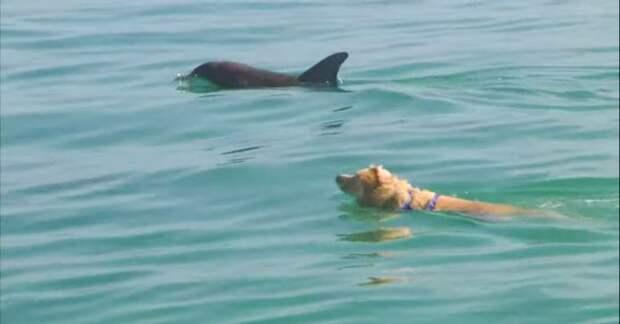 Лабрадор почти каждый день бежит на пристань, чтобы поплавать со своими другом дельфином