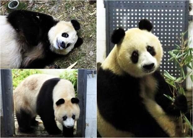 В Китае скончалась 34-летняя панда-долгожительница Сусу