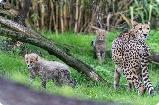 В зоопарке Базеля подрастают четыре детеныша гепарда