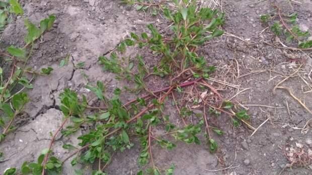 Узнайте о пользе обычного сорняка, который растет в любом дворе