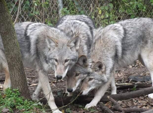 Их уже более миллиона: люди создали нового хищника, захватывающего северо-восток США