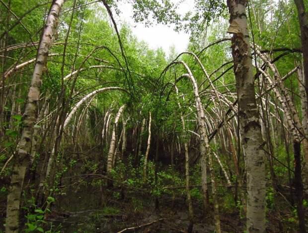 Шушмор аномалии деревья