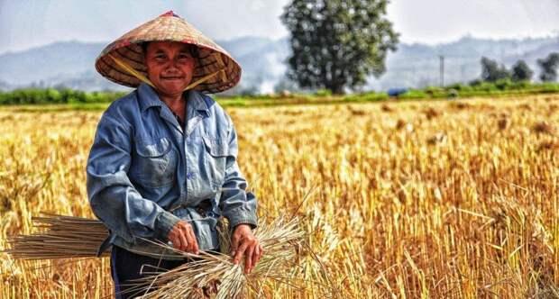 Ученые предлагают создавать одежду из рисовой соломы и ананасовых листьев