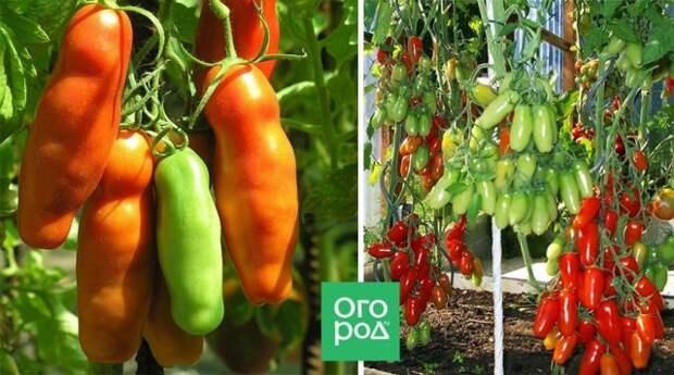 Сорт томатов Аурия