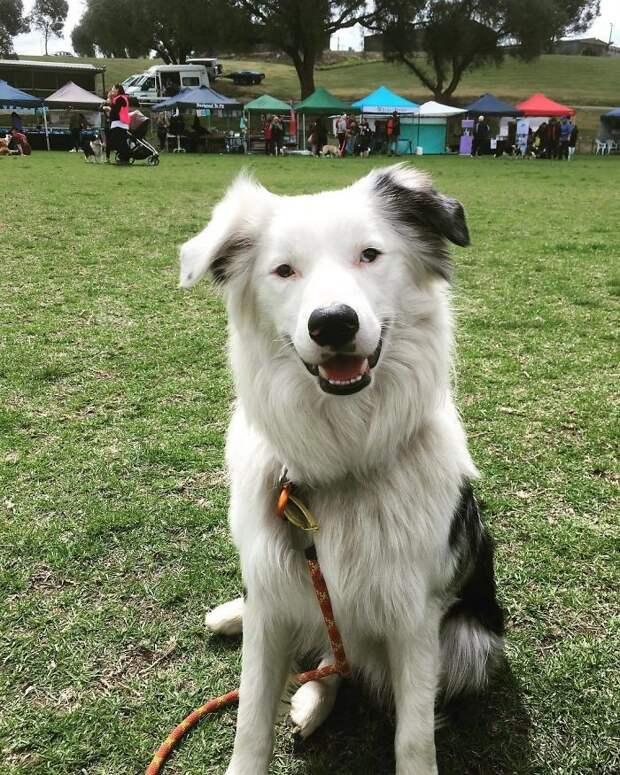 Подобные достижения не регистрируются в Книге рекордов Гиннесса, но зато животные собрали более 6000 долларов на благотворительность Порода, австралия, бордер-колли, животные, мероприятие, рекорд, собака